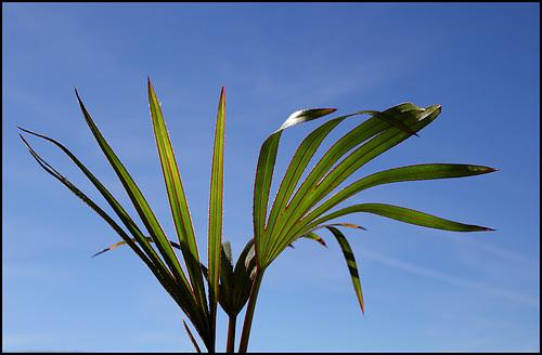 Latania lontaroides (1)