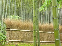 La forêt de bambous d'Arashiyama (Arashiyama no chikurin) (Kyoto, Kansai, Japon)