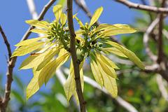 308/365 Summer Poinsettia