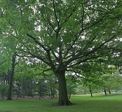 red oak/chêne rouge