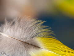 Pictures for Pam, Day 11: Soft Feather for Macro Monday 2.0