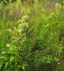 wild rubarb