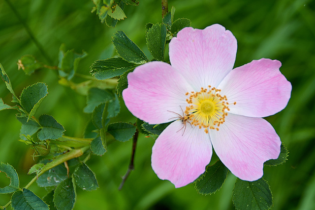 Hunds-Rose (Rosa canina)