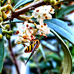 Hoverfly at olive blossoms...  ©UdoSm