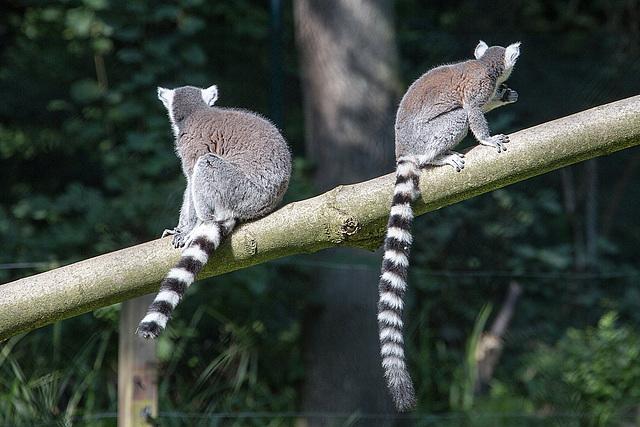 20150911 8850VRAw [D~HF] Katta (Lemur catta), Tierpark, Herford