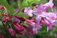 Lilas botanique