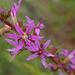 Lythrum salicaria, Salgueirinho L1020202