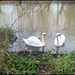 swans in the flood
