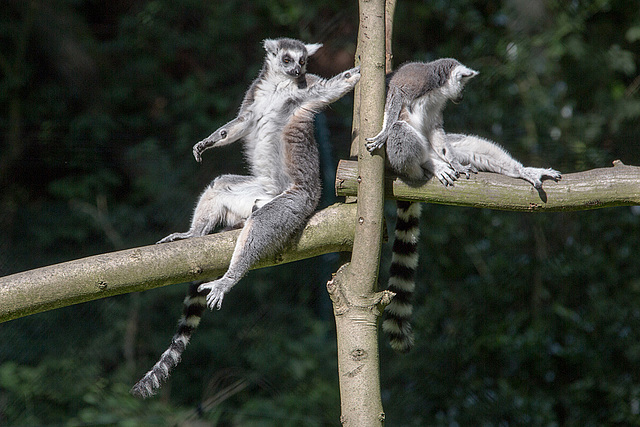 20150911 8852VRAw [D~HF] Katta (Lemur catta), Tierpark, Herford
