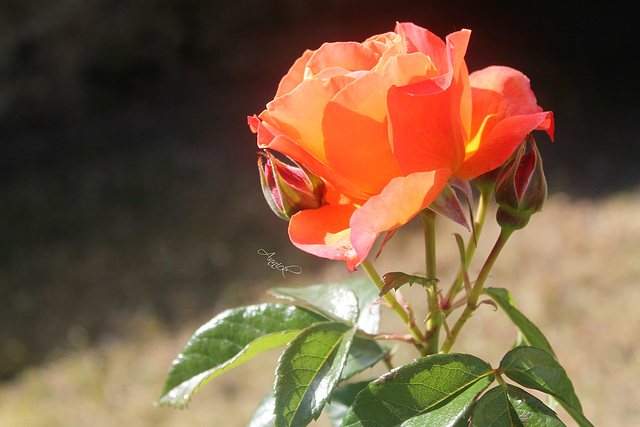 """""""L'odeur de rose, faible, grâce au vent léger d'été qui passe, se mêle aux parfums qu'elle a mis."""" de Paul Verlaine"""