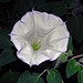 Datura Inoxia ~ Moonflower