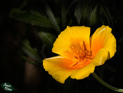 31/366: California Poppy with Droplet
