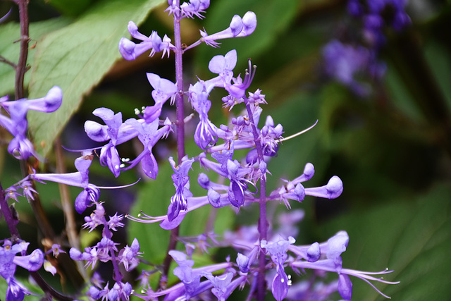 Plectranthus by the hayshed