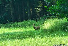 Roe deer on the meadow