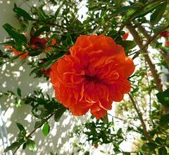 Grenadier-fleurs... de cet été