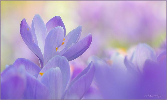 Soft Purple Crocus...