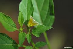 20200408-6107 Physalis angulata L.