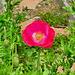 P1300080- Coquelicot rose - Jardin.  19 mai 2020