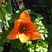 Tulip - Orange