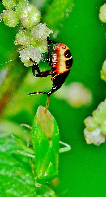 Bronze Shield Bug Nymph. Troilus luridus