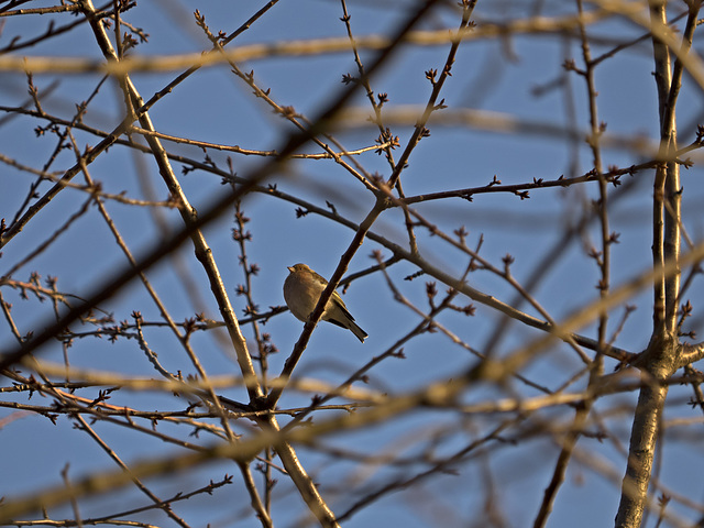 At the sun,between the branches, inflating the feathers of the chest against the cold