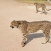 Namibia, Two Cheetahs in the Otjitotongwe Guest Farm