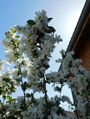 Arbuste d'ornement*****************