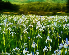Iris Field - Flypaper Texture - Topaz Impression Georgia OKeeffe 2