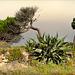 Agave americana (piteira) e pinheiros