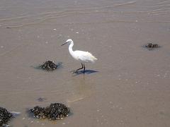 Egret exploring ebb-tide.