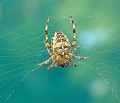 Orb Web Spider. Araneus Diadematus