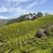 Plantation de thé.