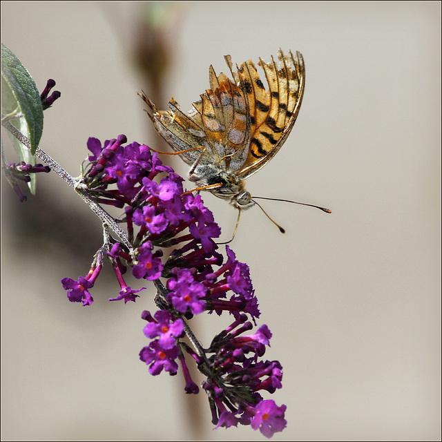 fil(et) à papillons - Page 11 43136768.91c8c8ae.640