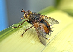 Fly. Tachina fera