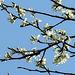 20200408 7136CPw [D~MI] Baumblüte, Großes Torfmoor, Hille