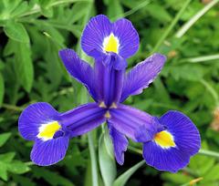 Iris éclos ce matin pour m'annoncer l'été