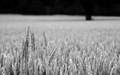 Getreidehalme 3