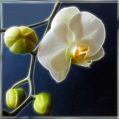 Weisse Orchidee... ©UdoSm