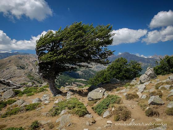 Probablement... un des hêtres les plus photographiés de Corse...