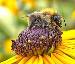 Comfy Bee