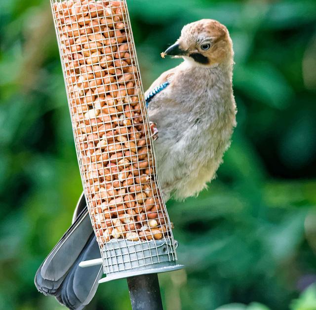Jay on a feeder 1