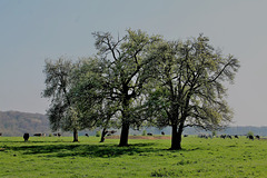 The trees and cows