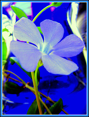 Kompozíció kék virággal   Composition with blue flower