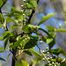 20200408 7139CPw [D~MI] Baumblüte, Großes Torfmoor, Hille