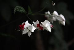 Blüte rot-weiß
