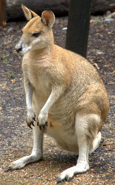 Kangaroo from Cairns Zoo