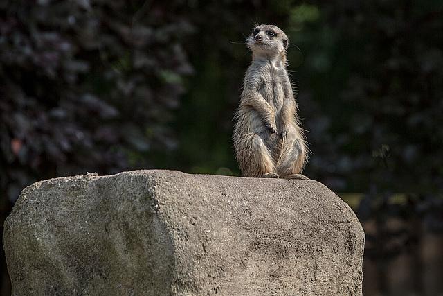 20150911 8869VRAw [D~HF] Erdmännchen (Suricata suricatta), Tierpark, Herford