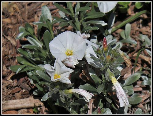 Convolvulus cneorum (2)