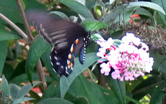 Pipevine Swallowtail -