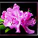 Rhododendron-4... ©UdoSm
